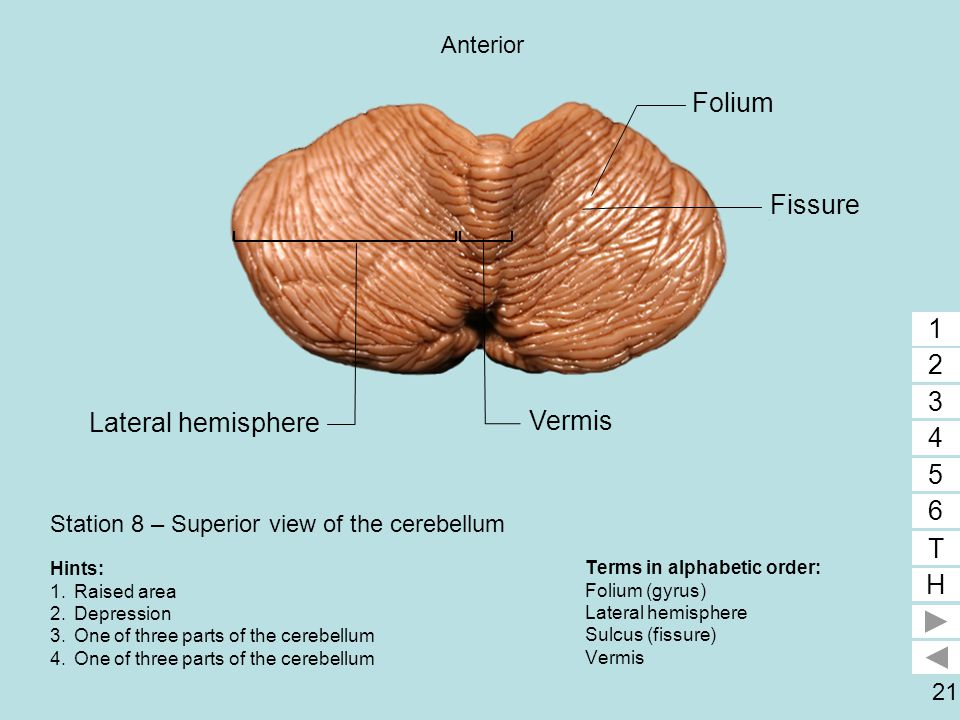 Station 8 – Superior view of the cerebellum