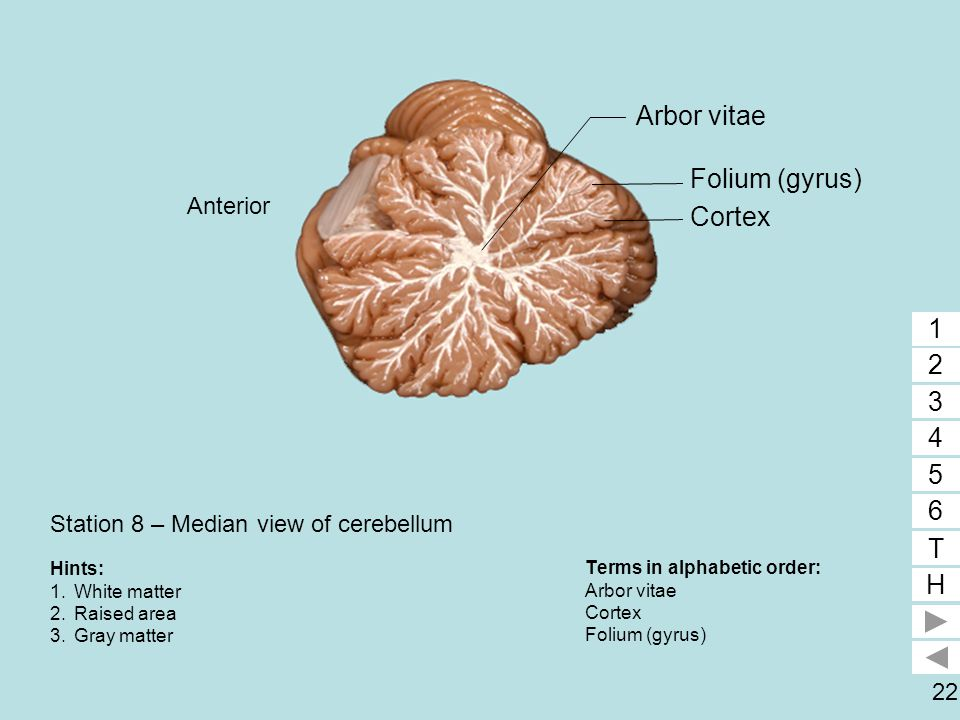 Station 8 – Median view of cerebellum