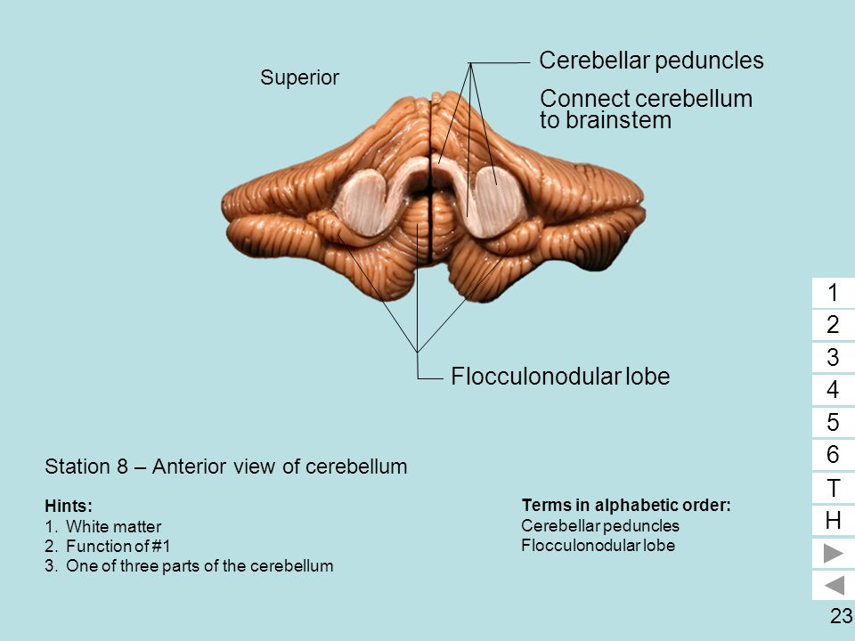 Station 8 – Anterior view of cerebellum