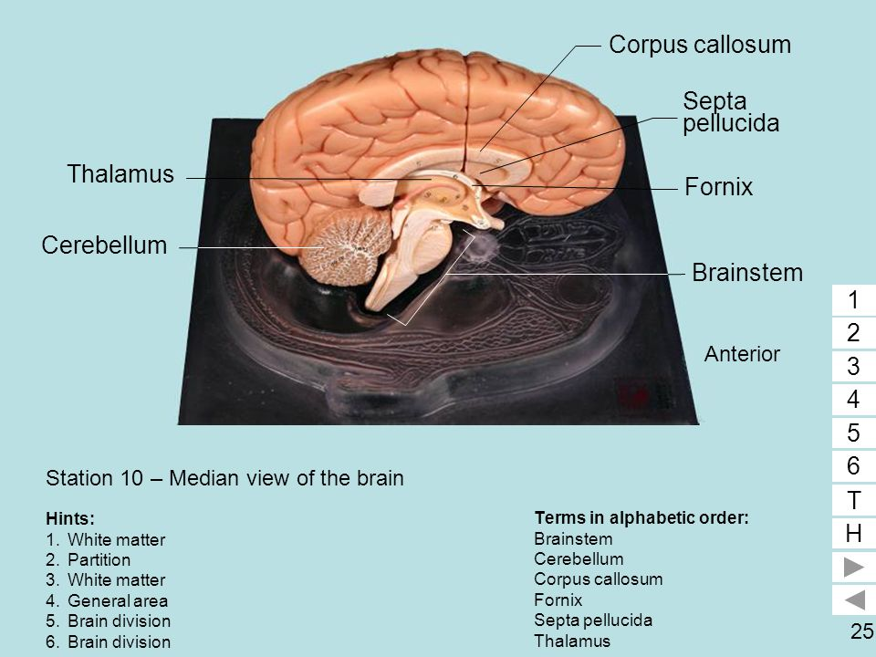 Station 10 – Median view of the brain