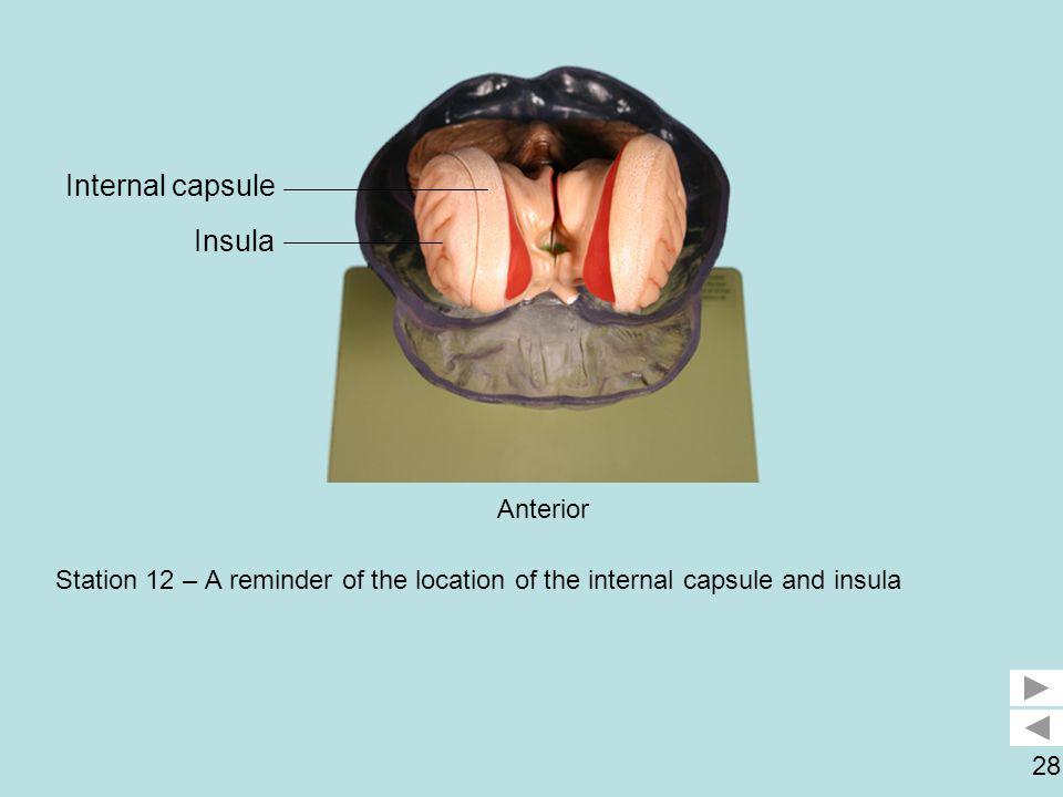 Internal capsule Insula Anterior