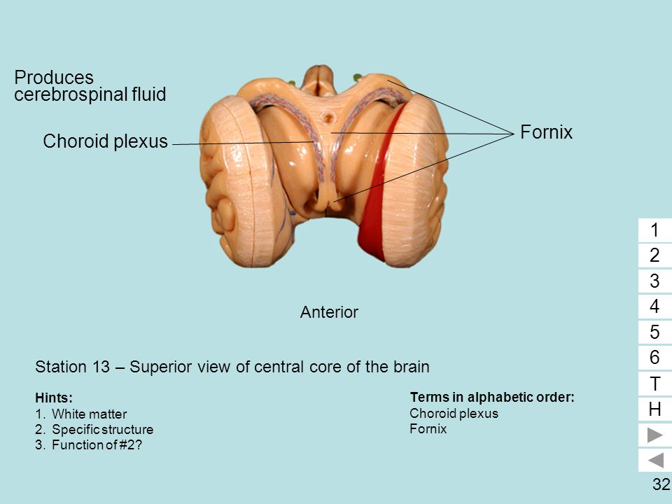 Station 13 – Superior view of central core of the brain