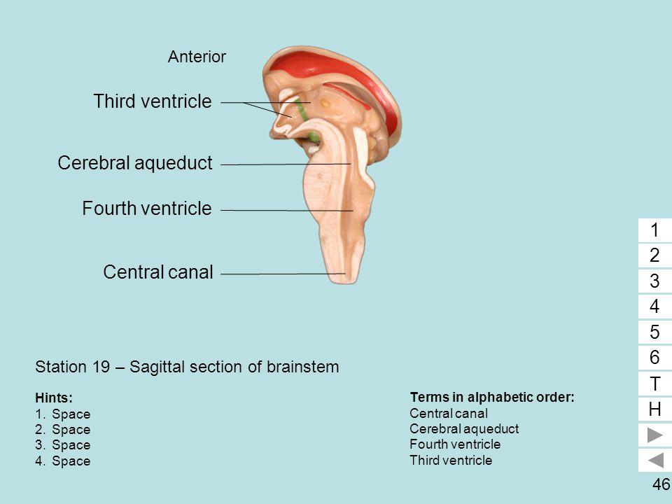Station 19 – Sagittal section of brainstem