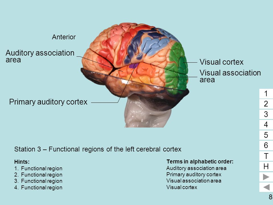 Station 3 – Functional regions of the left cerebral cortex