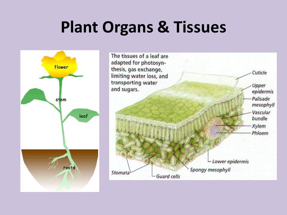 Plant Organs & Tissues