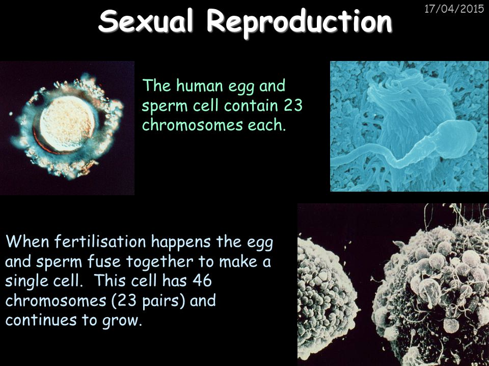 Sexual Reproduction 11/04/2017. The human egg and sperm cell contain 23 chromosomes each.