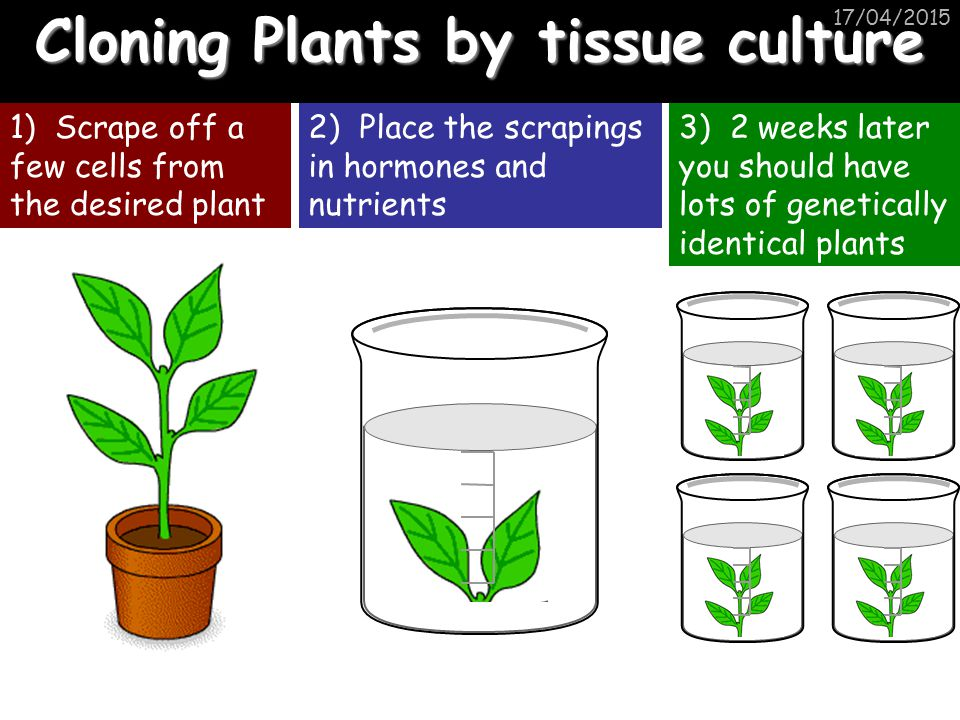 Cloning Plants by tissue culture