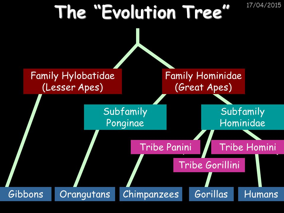 The Evolution Tree Family Hylobatidae (Lesser Apes)