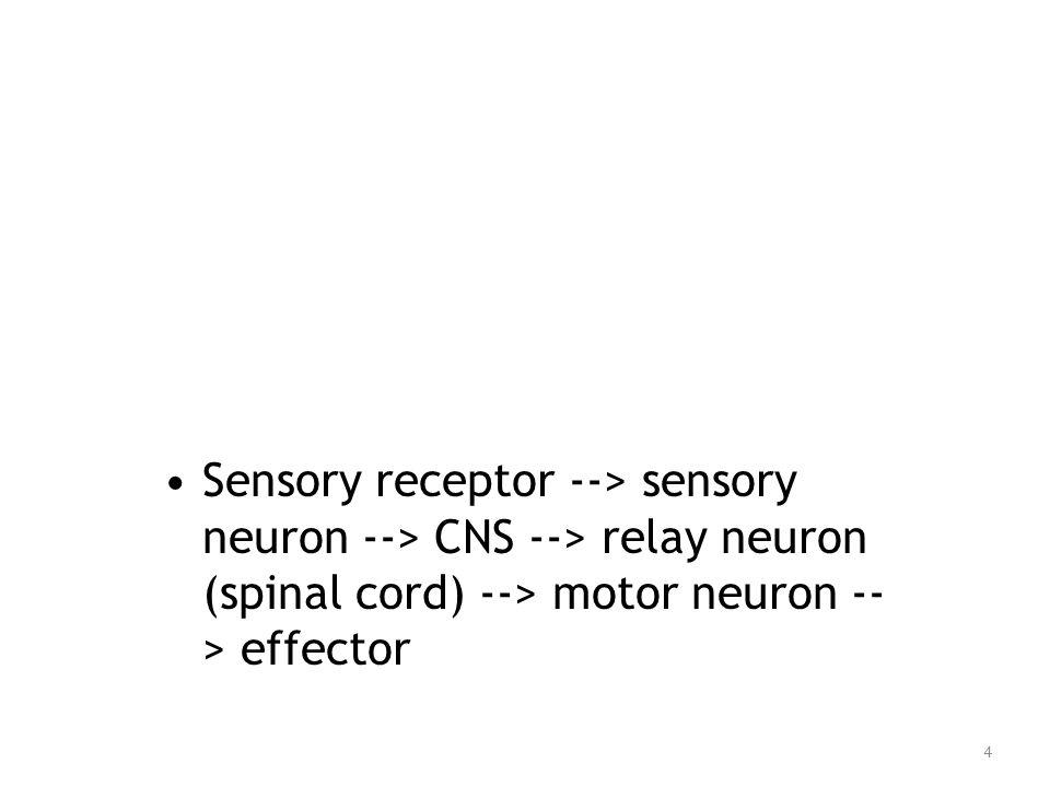 Sensory receptor --> sensory neuron --> CNS --> relay neuron (spinal cord) --> motor neuron -- > effector