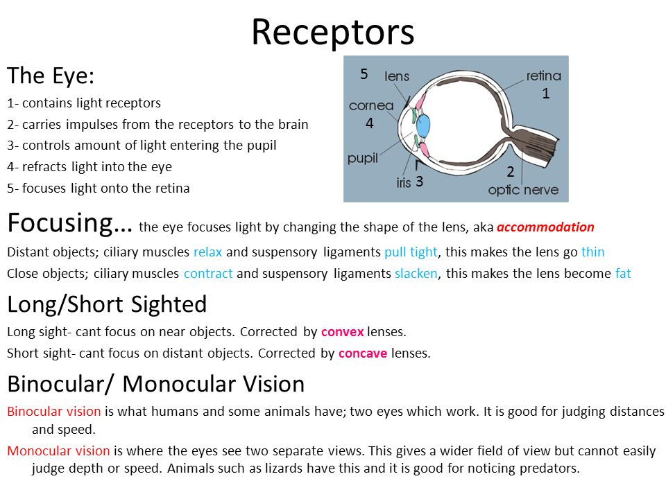 Receptors The Eye: 1- contains light receptors. 2- carries impulses from the receptors to the brain.