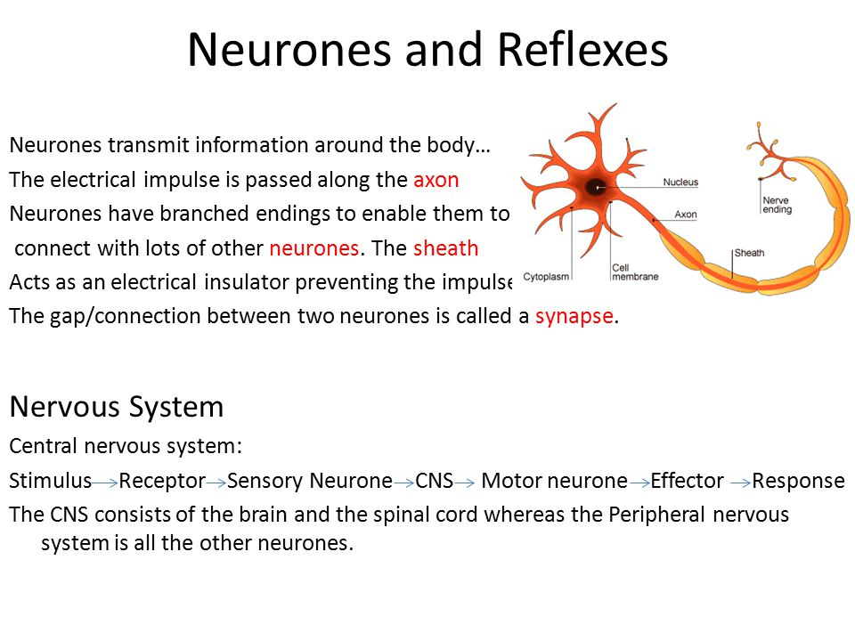 Neurones and Reflexes Nervous System