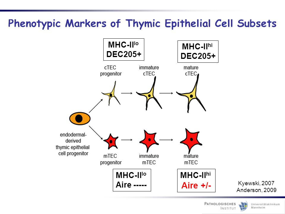 Phenotypic Markers of Thymic Epithelial Cell Subsets
