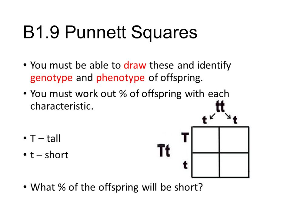 B1.9 Punnett Squares You must be able to draw these and identify genotype and phenotype of offspring.