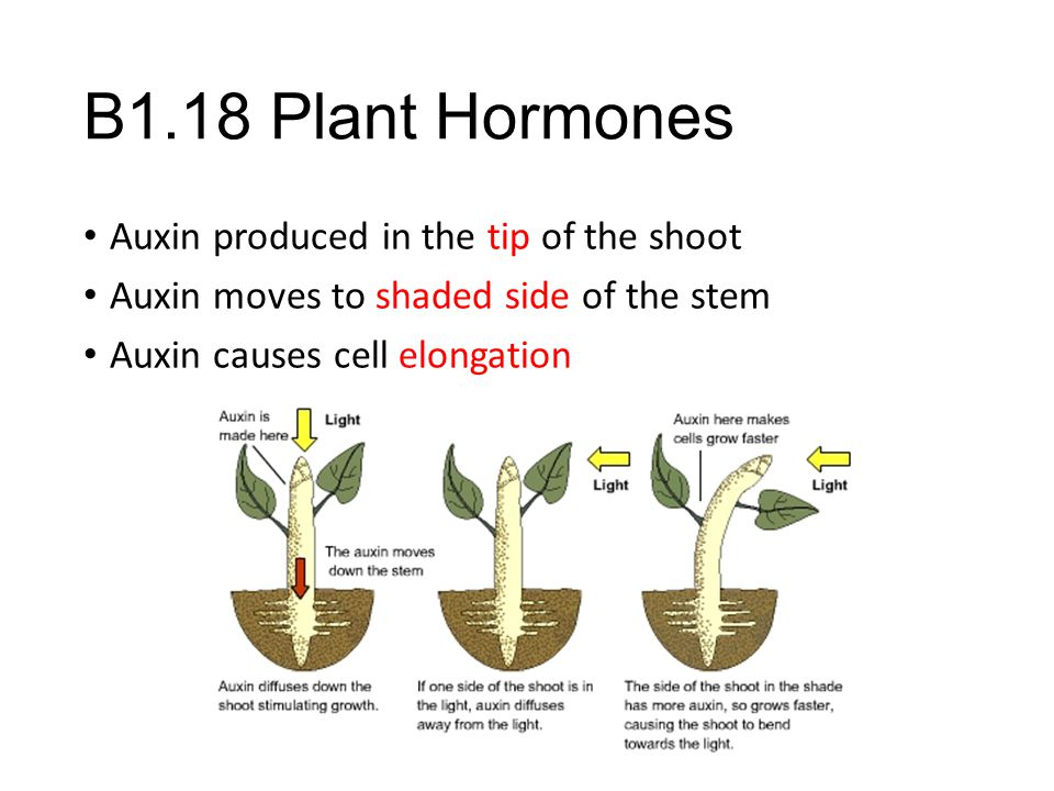 B1.18 Plant Hormones Auxin produced in the tip of the shoot