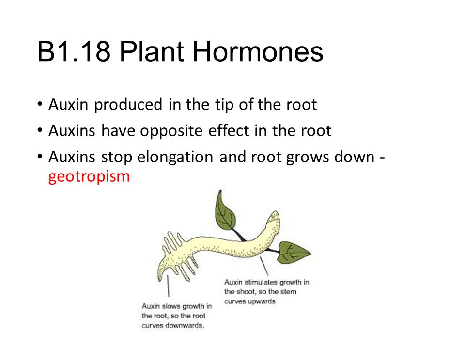 B1.18 Plant Hormones Auxin produced in the tip of the root