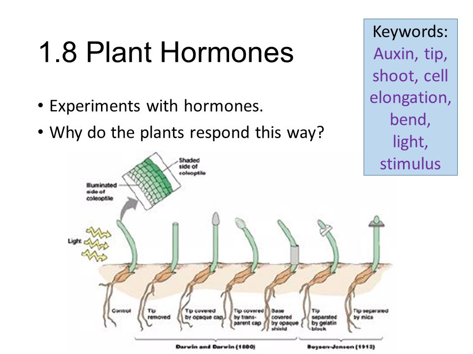 Keywords: Auxin, tip, shoot, cell elongation, bend, light, stimulus