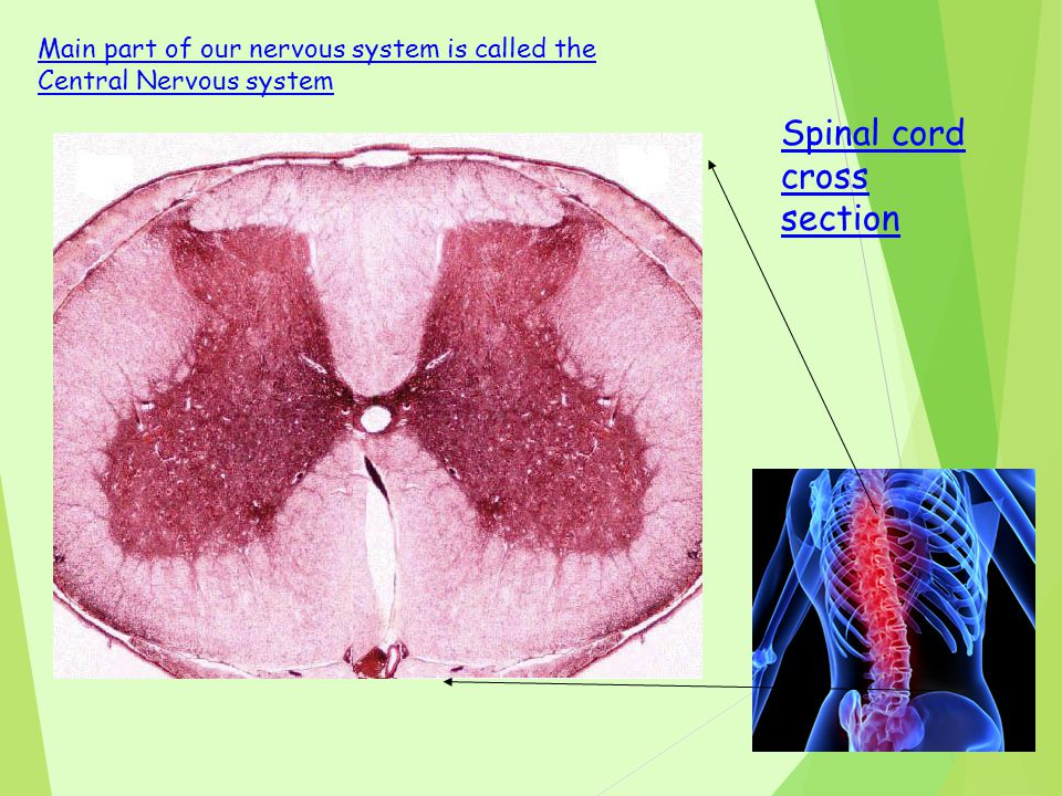 Spinal cord cross section