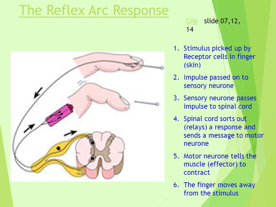 The Reflex Arc Response