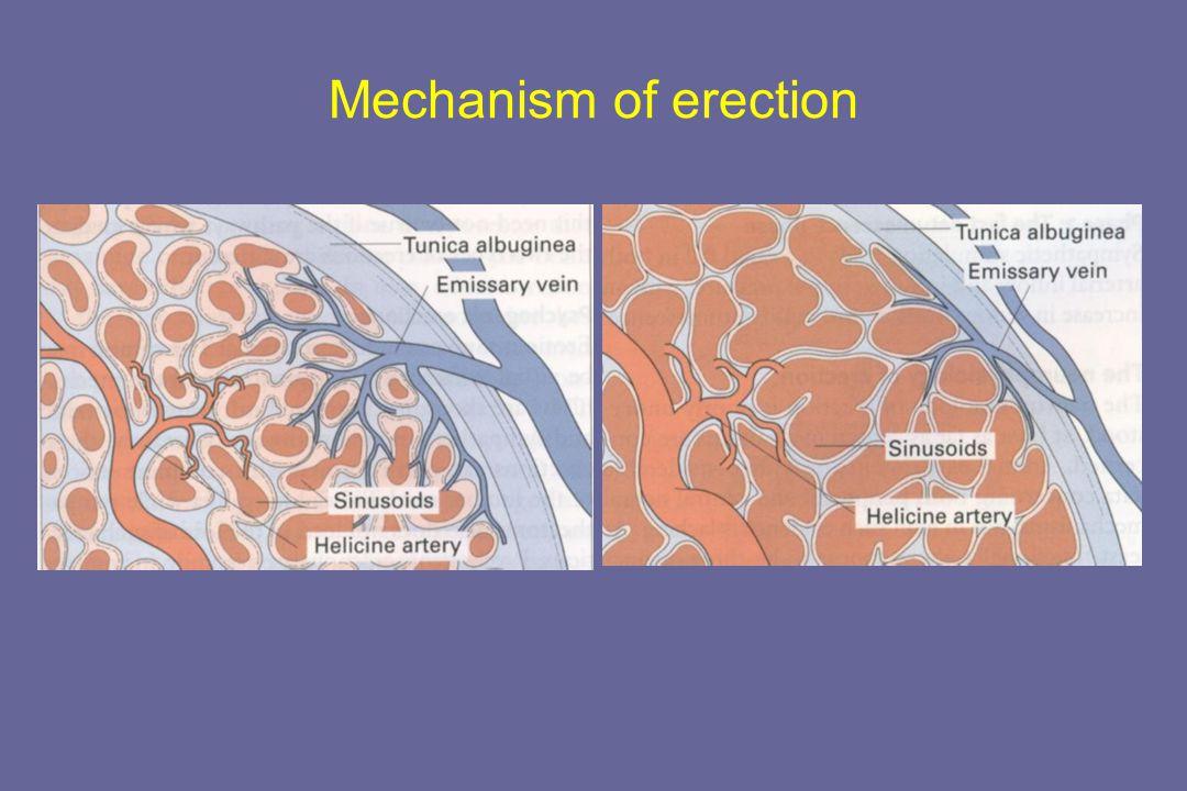 Mechanism of erection