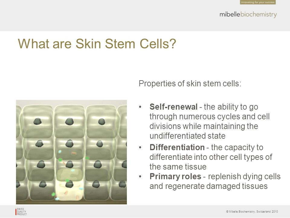 What are Skin Stem Cells