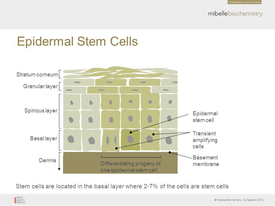 Epidermal Stem Cells Stratum corneum. Granular layer. Spinous layer. Epidermal. stem cell. Transient.