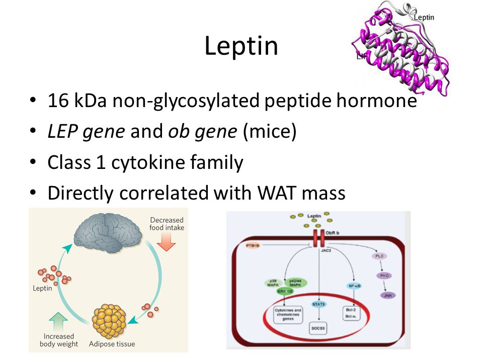 Leptin 16 kDa non-glycosylated peptide hormone