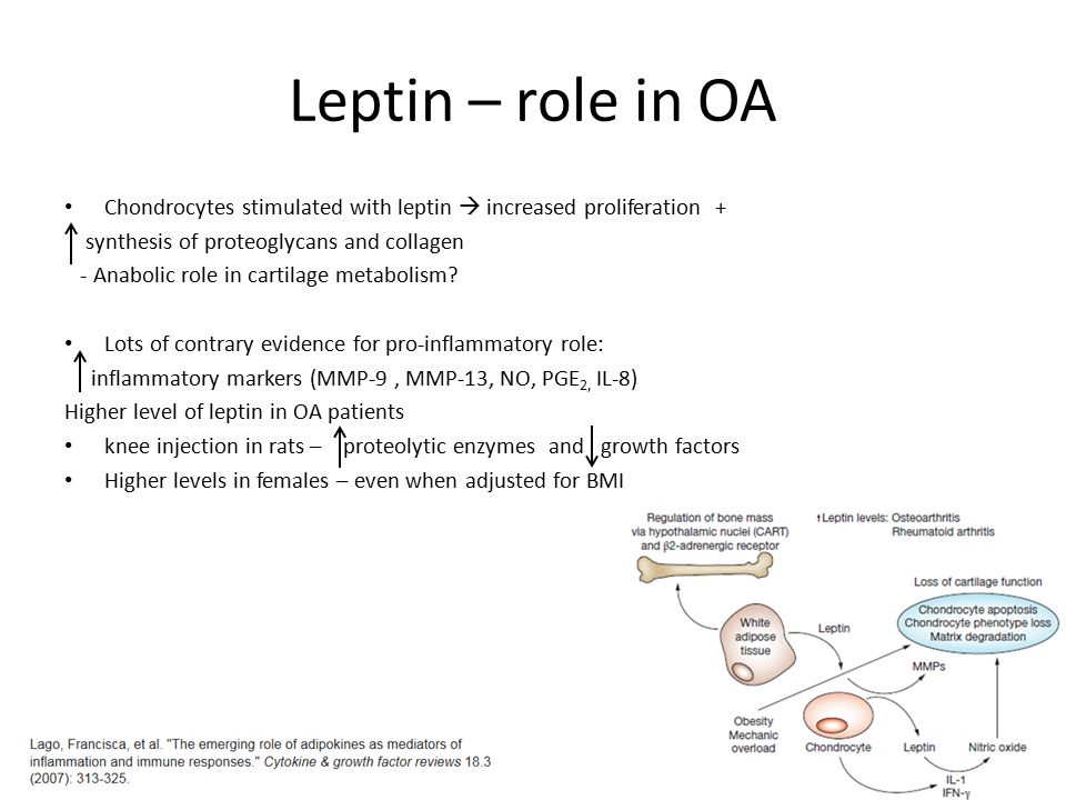 Leptin – role in OA Chondrocytes stimulated with leptin  increased proliferation + synthesis of proteoglycans and collagen.