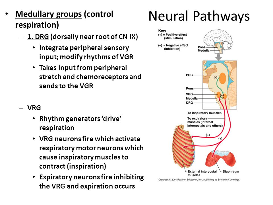 Neural Pathways Medullary groups (control respiration)