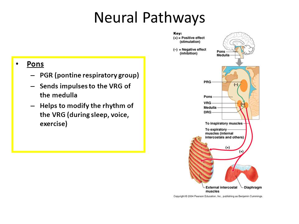 Neural Pathways Pons PGR (pontine respiratory group)