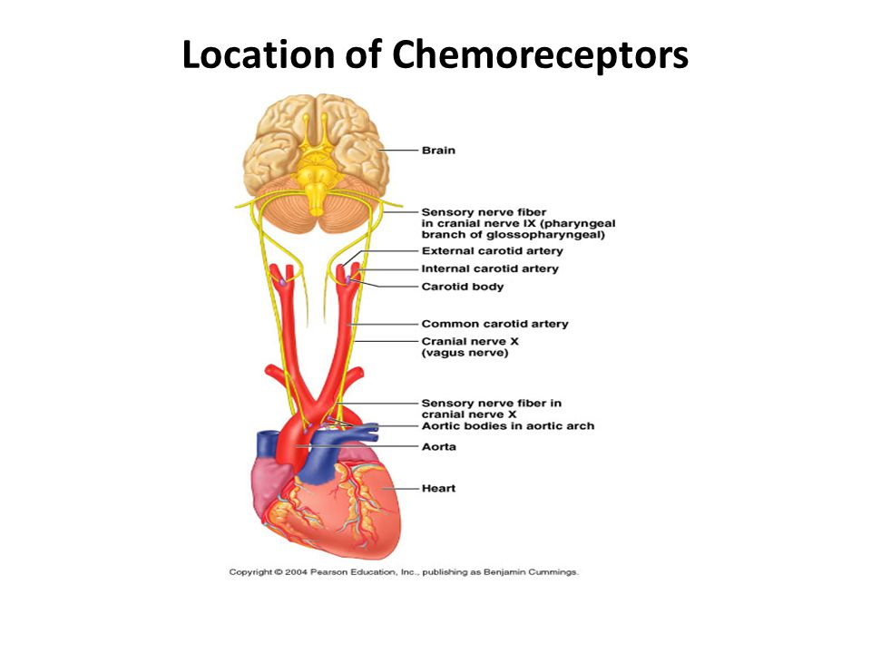 Location of Chemoreceptors