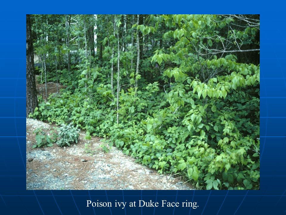 Poison ivy at Duke Face ring.