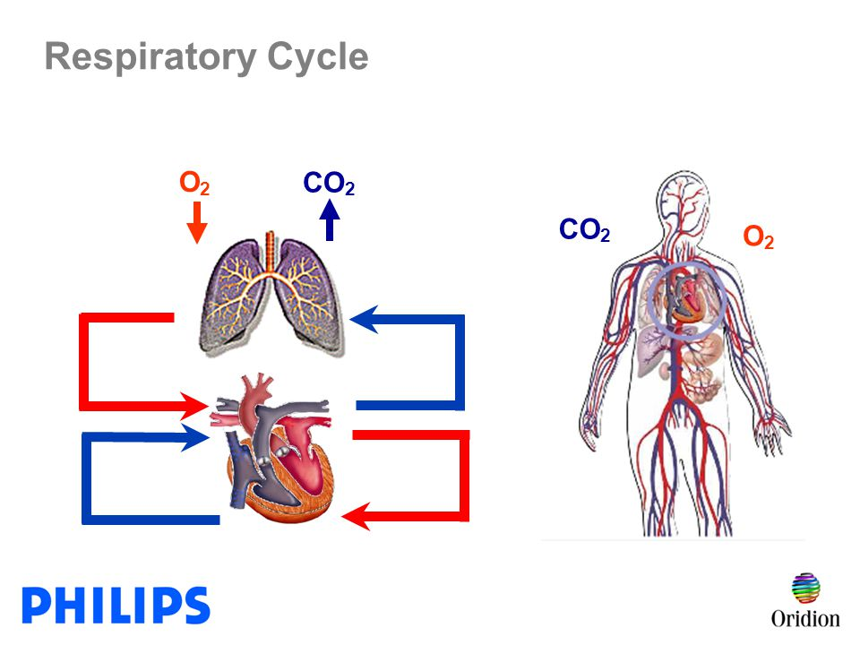 Respiratory Cycle O2 CO2 CO2 O2