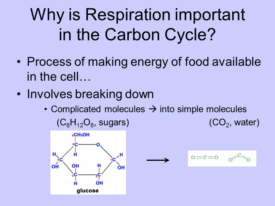 Why is Respiration important in the Carbon Cycle