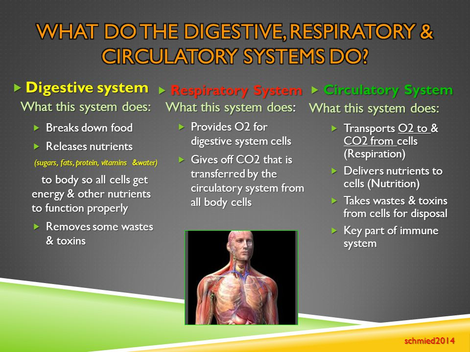 What do the Digestive, Respiratory & Circulatory systems do