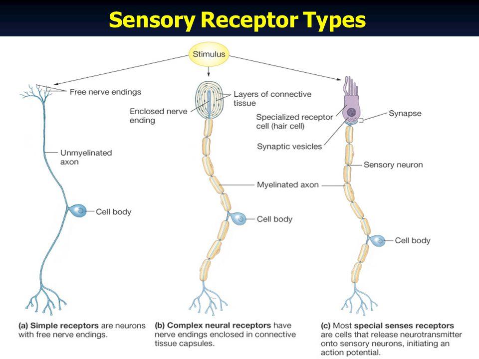 Sensory Receptor Types