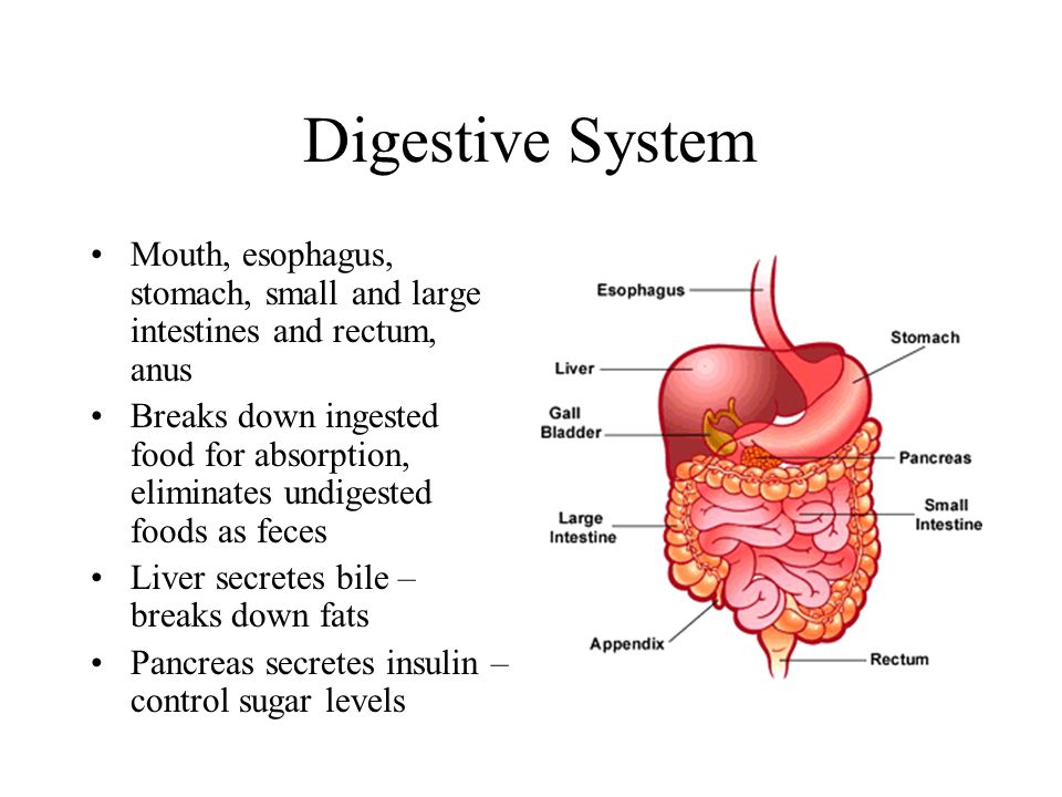 Digestive System Mouth, esophagus, stomach, small and large intestines and rectum, anus.
