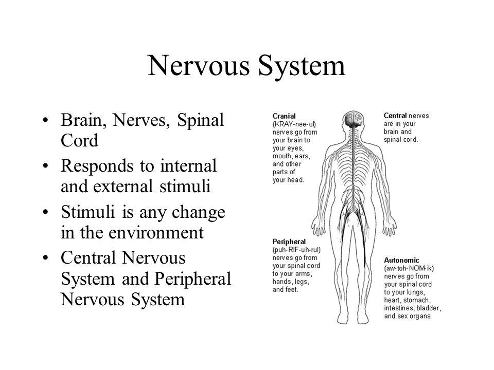 Nervous System Brain, Nerves, Spinal Cord