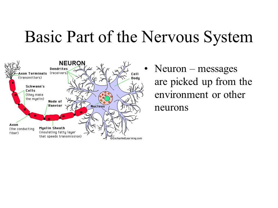 Basic Part of the Nervous System