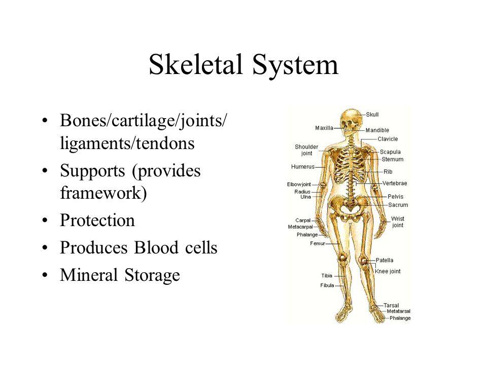 Skeletal System Bones/cartilage/joints/ligaments/tendons