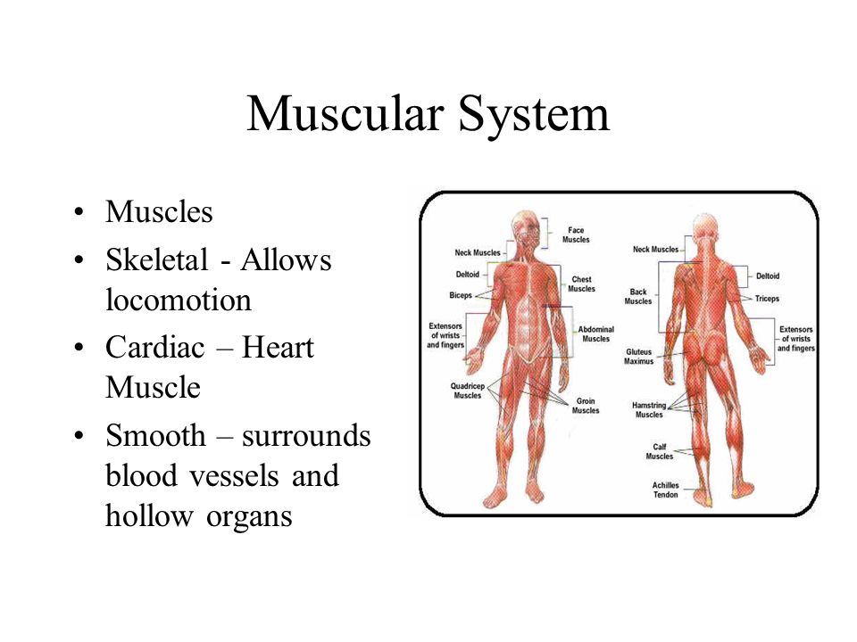 Muscular System Muscles Skeletal - Allows locomotion