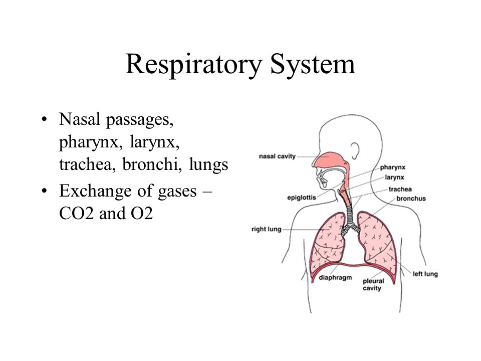 Respiratory System Nasal passages, pharynx, larynx, trachea, bronchi, lungs.