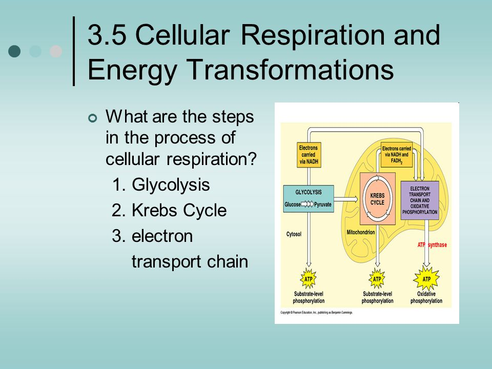 3.5 Cellular Respiration and Energy Transformations