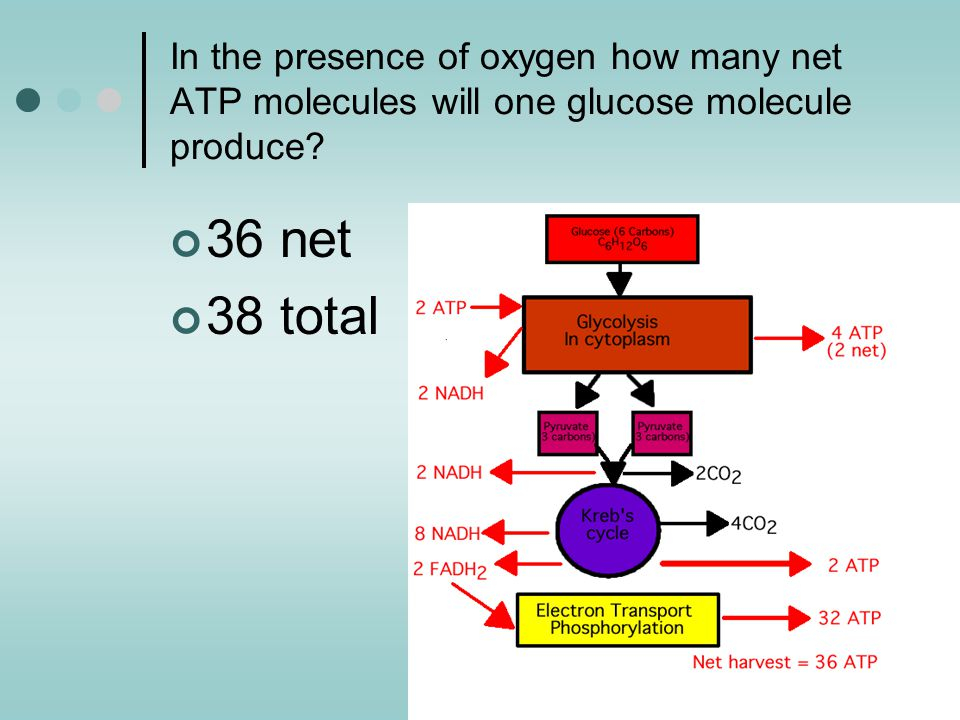 In the presence of oxygen how many net ATP molecules will one glucose molecule produce