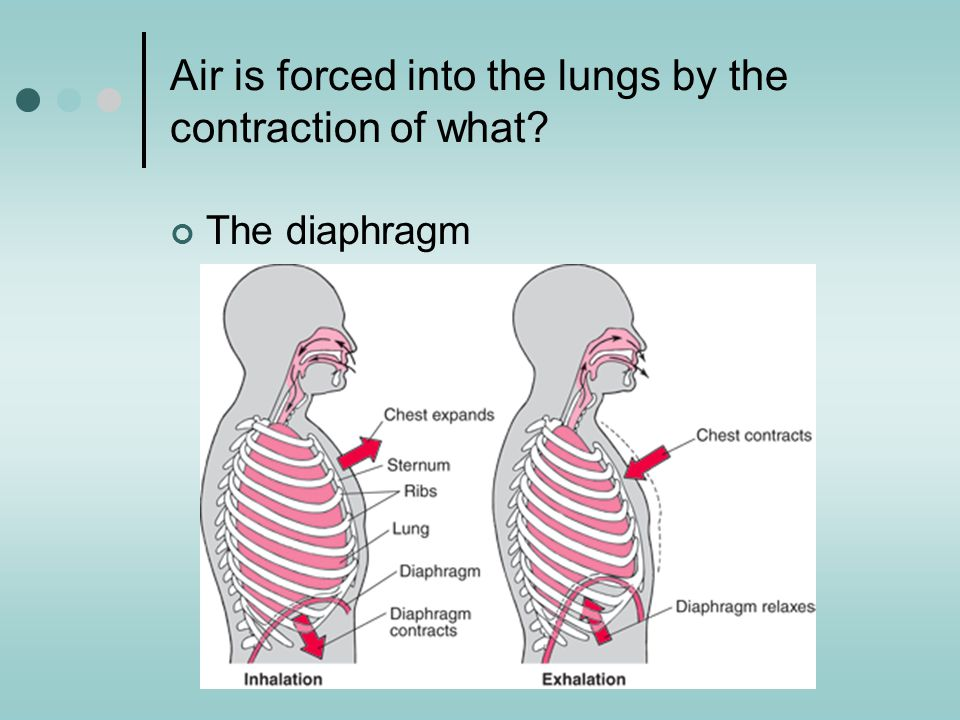 Air is forced into the lungs by the contraction of what