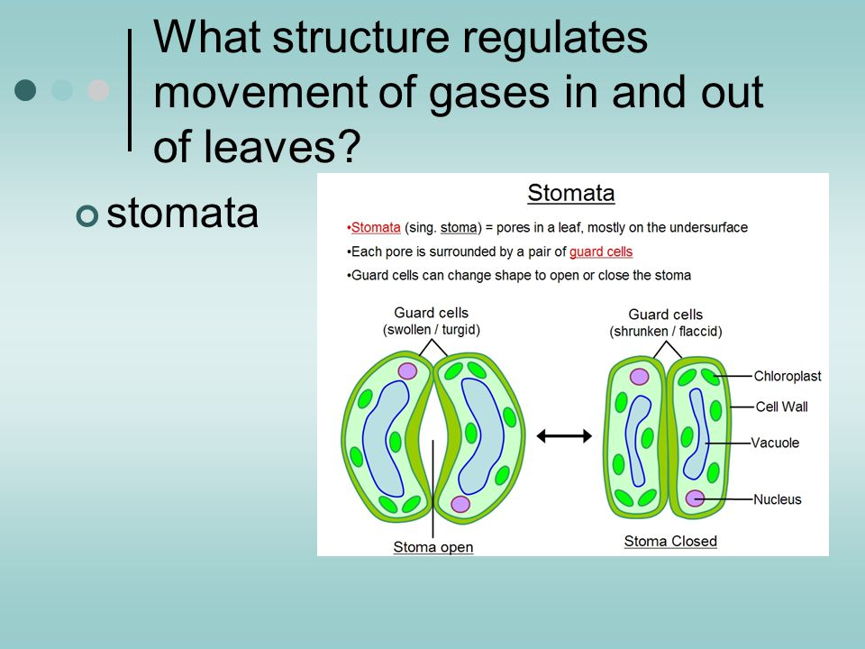 What structure regulates movement of gases in and out of leaves