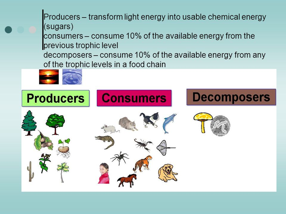 Producers – transform light energy into usable chemical energy (sugars) consumers – consume 10% of the available energy from the previous trophic level decomposers – consume 10% of the available energy from any of the trophic levels in a food chain