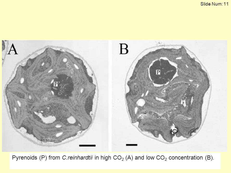 Pyrenoids (P) from C.reinhardtii in high CO2 (A) and low CO2 concentration (B).