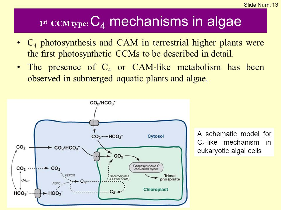 1st CCM type: C4 mechanisms in algae