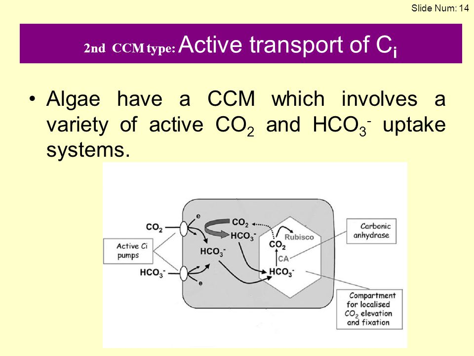 2nd CCM type: Active transport of Ci