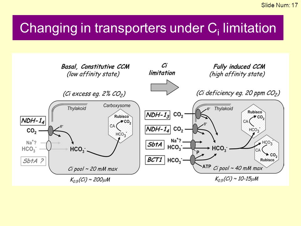 Changing in transporters under Ci limitation